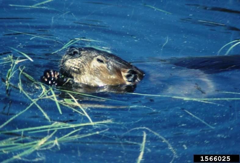 Adult beaver
