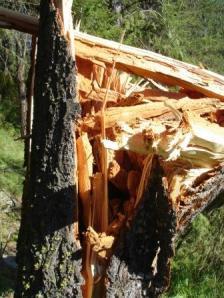 Broken Douglas-fir tree reveals extensive decay