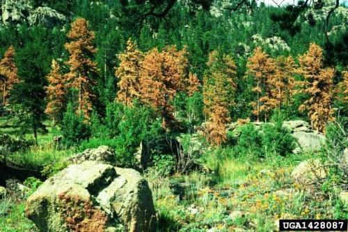 mountain pine bark beetle damage