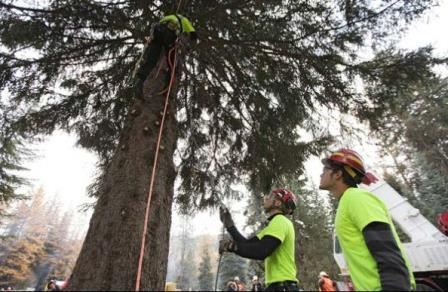 Preparing the Capitol Christmas tree for a safe harvest.