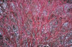Red stemmed dogwood