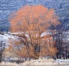 Deciduous yellow tree