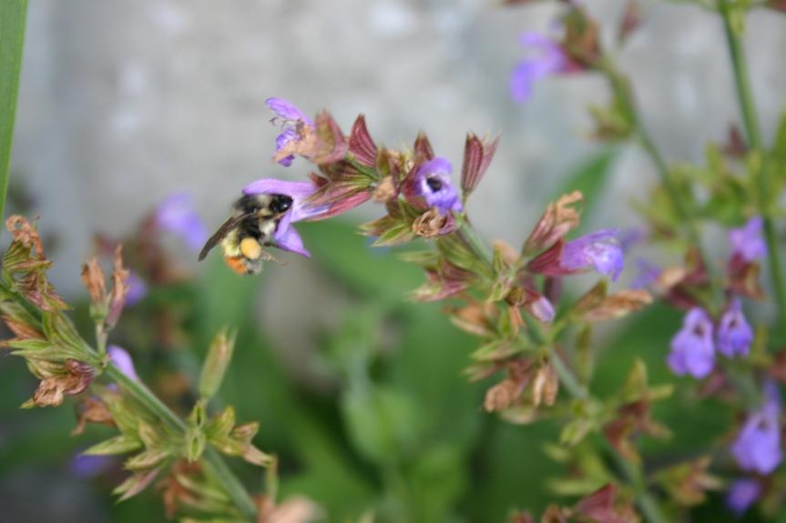 Black-tailed bumblebee (Bombus melanogygus