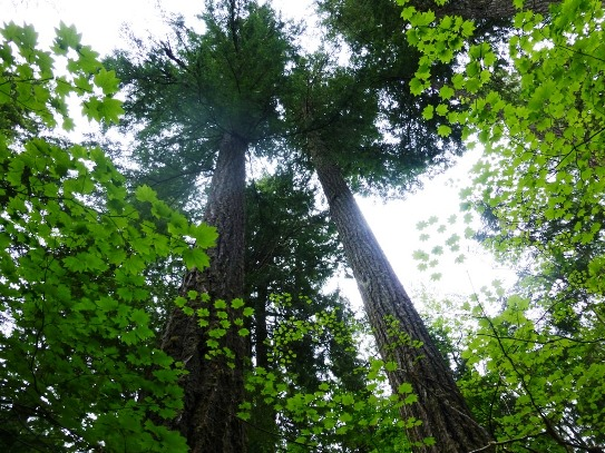 Mature forest canopy, Upper Skagit River