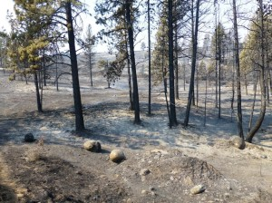 Burned ponderosa pine on Rising Eagle Road near Twisp.