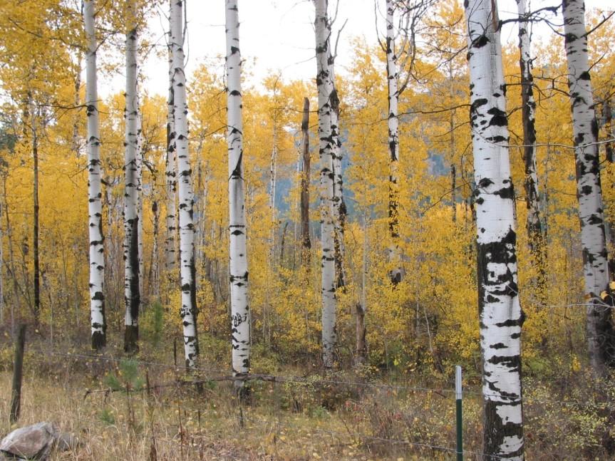 Aspens in fall. Photo: Don Hanley.