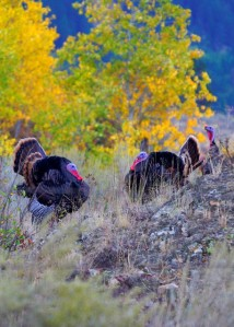 wild turkey in aspen stand