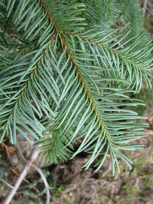 Noble fir. Photo: Kevin Zobrist/WSU