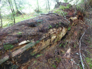 Large Douglas-fir down log