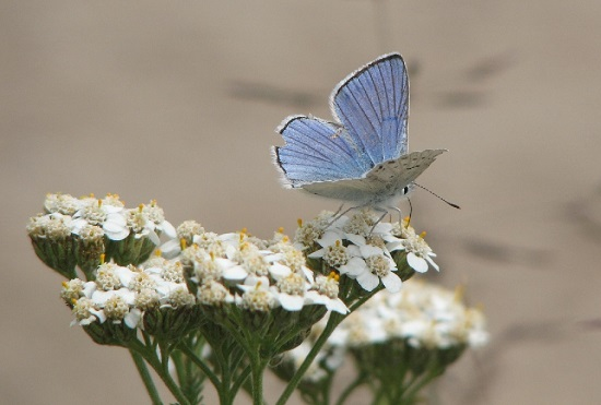 Blue copper butterfly