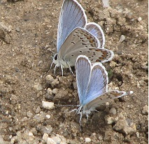 Butterflies puddling in wet sand.