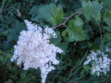Oceanspray (Holodiscus discolor)--a large shrub that tolerates transplantation well--attracts birds and butterflies. Photo: Carol Mack.