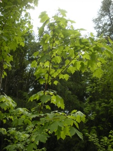 Rocky Mountain maple (Acer glabrum)