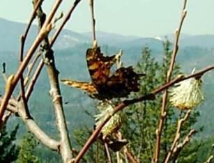 Angel wing butterfly. Photo: Carol Mack.