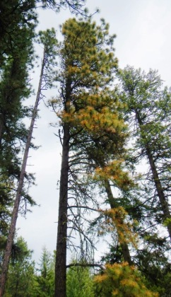 Ponderosa pine with damage to needles.