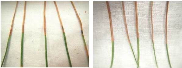 red band needle blight