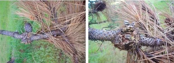 Western gall rust on ponderosa pine