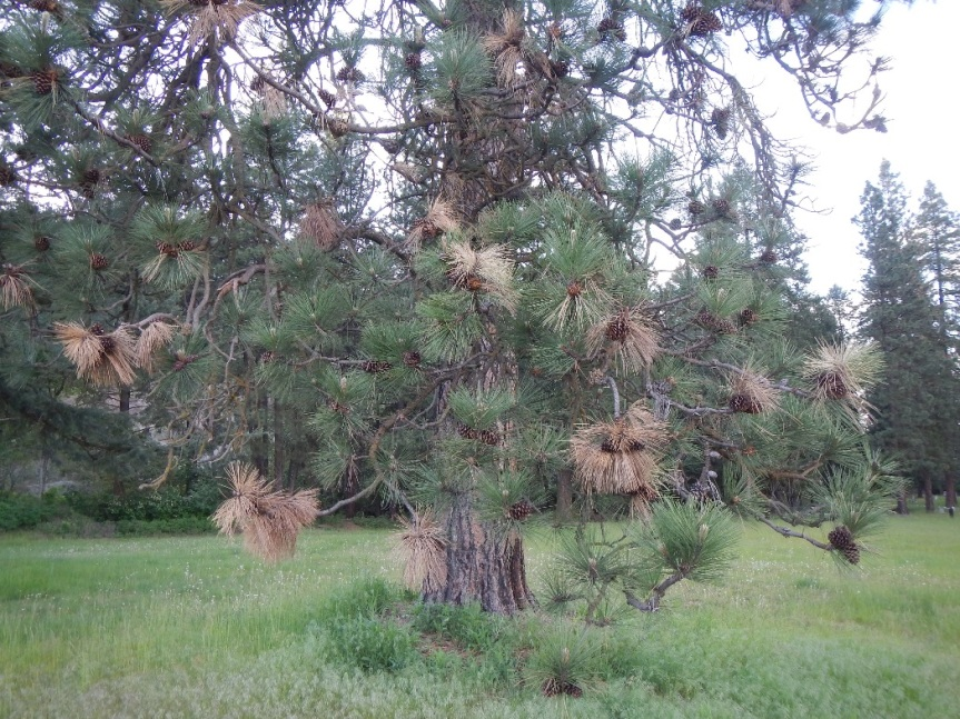 Ponderosa pine with dead tips