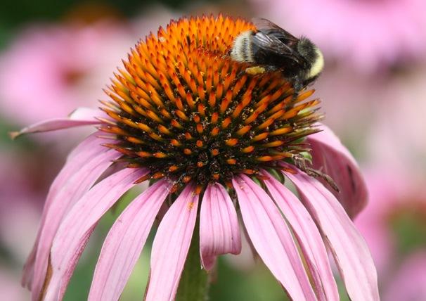 Western bumblebee. Photo: John Stuart.