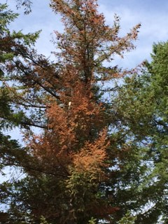 Douglas-fir top injured by three years of drought.