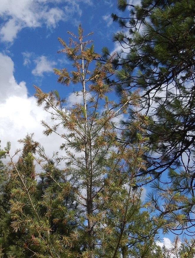 sz-FISCHER_midge-needle-damage-trees-2_500px