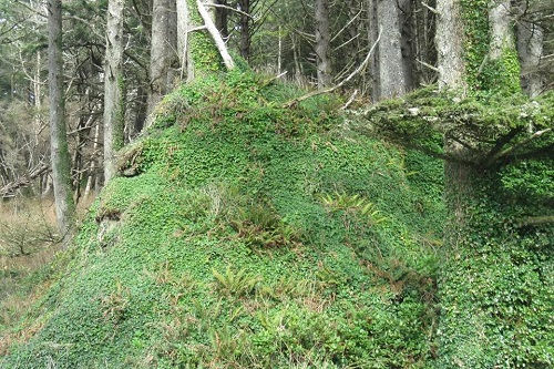 English holly infestation in Olympic National Park