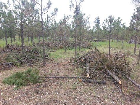 Tree stand after Firewise treatment