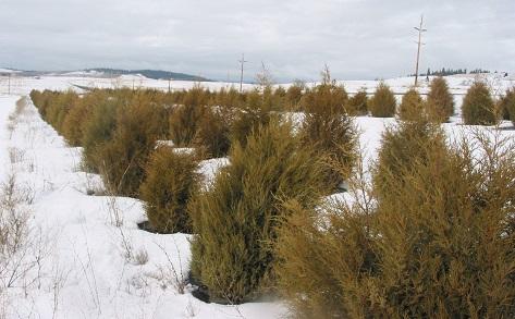 WSU's Living Snow Fence