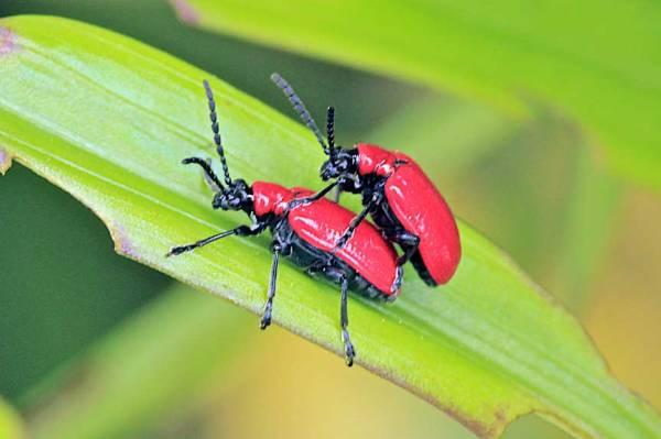 Lily leaf beetle adult.