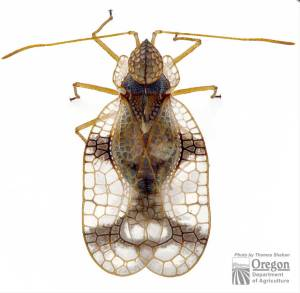 Azalea lace bug adult