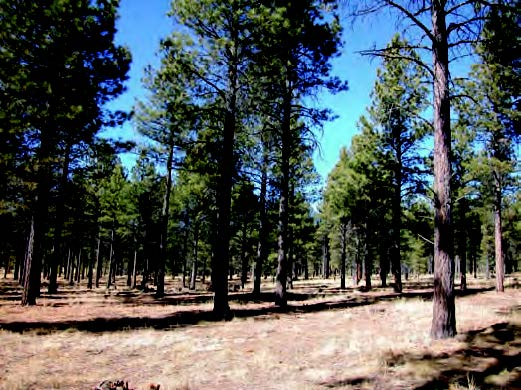 Ponderosa pine stand thinned and pruned