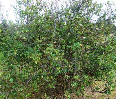 Black hawthorn (Crataegus douglasii).