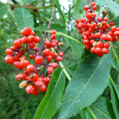 Red elderberry (Sambucus raesmosa)