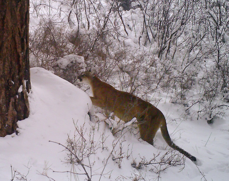 Methow Valley cougar: Photo: Ken Bevis/DNR.
