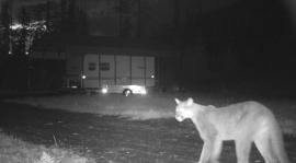 Cougar along Skagit River