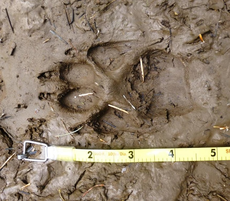 wolf track by Ken Bevis