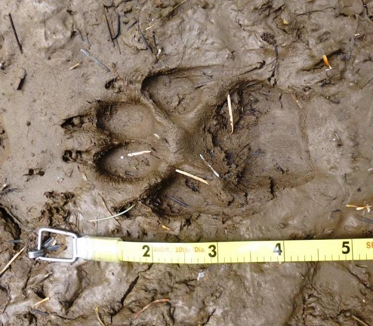 wolf track by Ken Bevis
