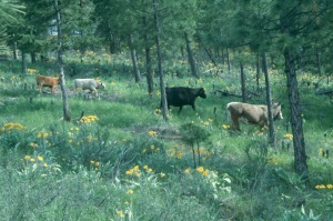 Cattle grazing in riparian area