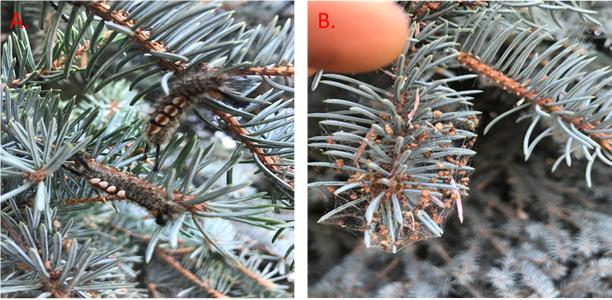 Signs of Douglas-fir tussock moth