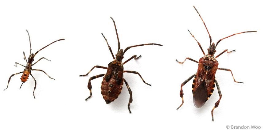 Nymphal stages and final adult form of the Western conifer seed bug
