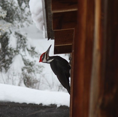 Pileated woodpecker on house