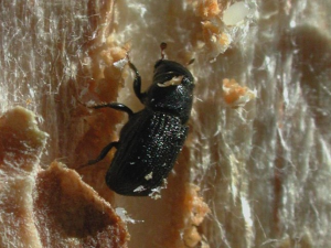 female bark beetle