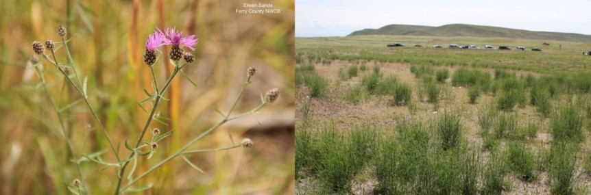 Spotted knapweed and rush skeletonweed
